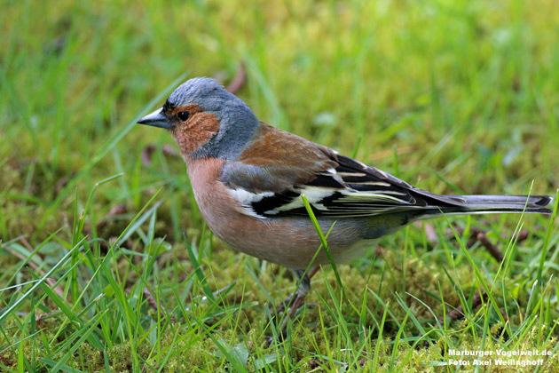 Marburger-Vogelwelt.de: Buchfink Chaffinch, Fringilla coelebs County
