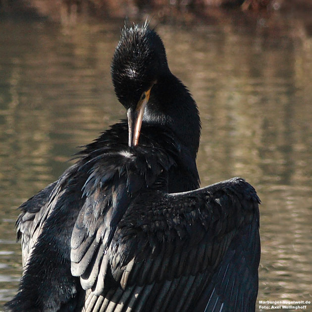 Kormoran - Cormorant - Phalacrocorax carbo