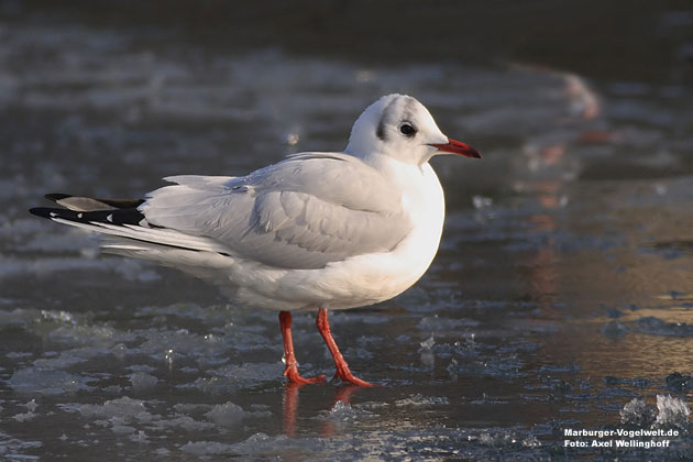 Lachmöwe, Black Headed Gull, Larus ridibundus