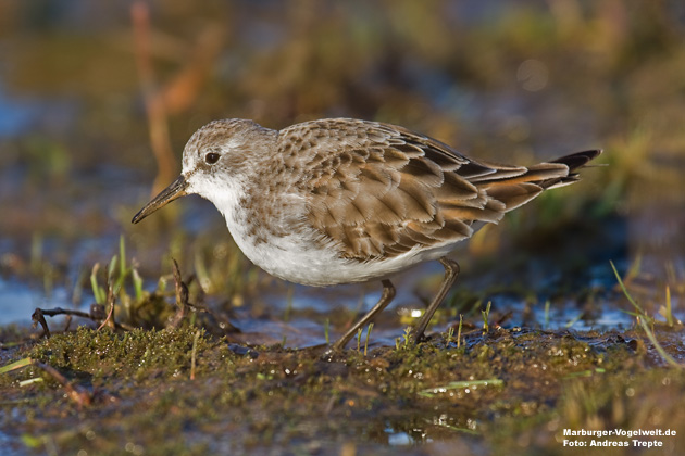 Zwergstrandläufer, Little Stint, Calidris minuta